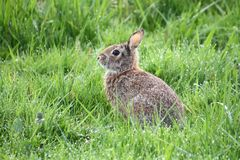 A wild rabbit sitting in a grass field. On a sunny day Royalty Free Stock Images