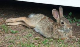 Wild Rabbit Stretching stock images