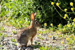 Wild rabbit basking in the sunshine Stock Photos