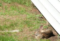 Wild Rabbit Sunning stock photography