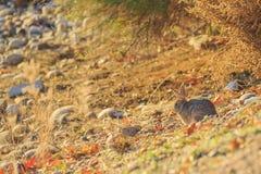 Wild rabbit taken in Page, Arizona Royalty Free Stock Photo