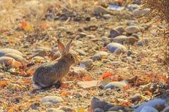 Wild rabbit taken in Page, Arizona Royalty Free Stock Images