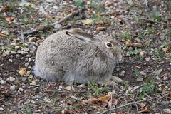 Wild rabbit trying to camouflaged and hiding in the city Stock Images