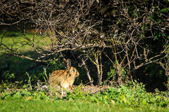 Wild rabbit under a tree Stock Image
