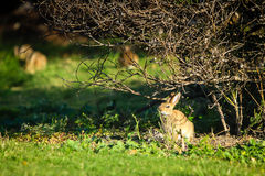 Wild rabbit under a tree Stock Images
