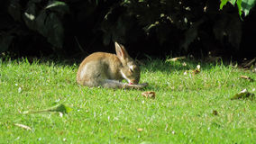 Wild rabbit washing itself in the early morning Royalty Free Stock Photo
