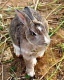 Wild Rabbit, Yomitan Village, Okinawa Japan Stock Photo