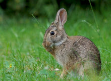 Wild Rabbit. A young wild Rabbit cleaning its fur while sitting in the tall grass in spring Royalty Free Stock Photo