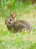 Wild Rabbit. A young wild Rabbit listening for predators while munching on fresh green grass Royalty Free Stock Images