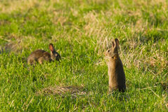 Wild Rabbits Stock Image
