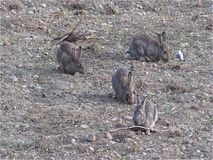 Wild Rabbits. Browsing grass in a dry field stock video footage