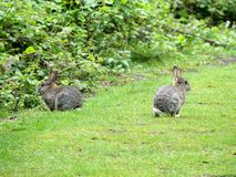 Wild rabbits on Chorleywood Common stock image