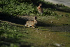 Wild rabbits in countryside. Two wild rabbits in green countryside field Royalty Free Stock Photos