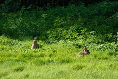 2 wild rabbits in a field Royalty Free Stock Image