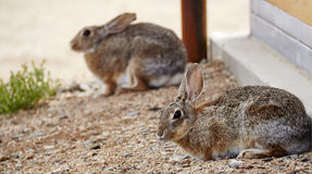 Wild Rabbits Stock Images