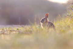 Wild rabit Royalty Free Stock Photography