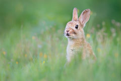 Wild rabit Stock Image