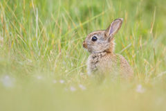 Wild rabit Stock Photography