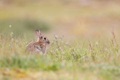 Wild rabit Royalty Free Stock Images