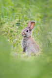 Wild rabit Stock Images