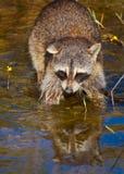 wild raccoon Arkivbild
