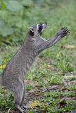 Wild Raccoon. Is asking for foods royalty free stock images