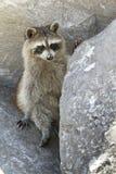 Wild Raccoon. Sitting on the rocks, the public beach of Sant Andrew national park, Panama city beach royalty free stock photography