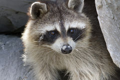 Wild Raccoon. Portrait of the wild raccoon looking for meal and hiding in the rocks stock photography
