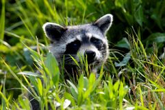 wild raccoon Royaltyfria Bilder