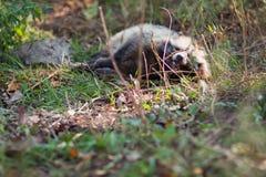 wild raccoon Royaltyfri Foto