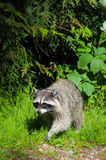 A wild raccoon. Coming out from the foerst Stock Photos