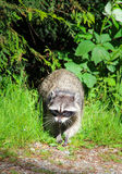 A wild raccoon. Coming out from the foerst Royalty Free Stock Photography