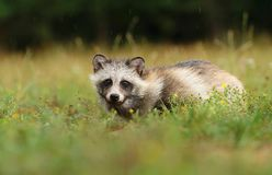 Wild raccoon doggy Royalty Free Stock Images