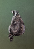 Wild raccoon drawing Stock Images