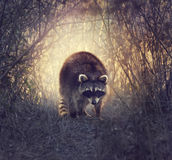 Wild Raccoon. In Florida Wetlands At Sunset Stock Photography