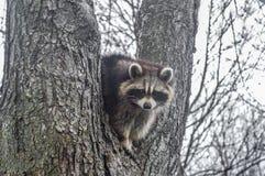 Wild raccoon looks Royalty Free Stock Image