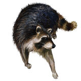 Wild raccoon oil painting Stock Photography