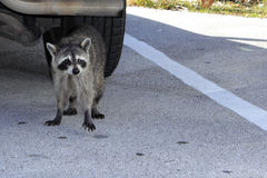 A Raccoon in Florida Stock Photo