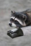 Wild raccoon som ligger i zoo Arkivbilder