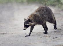 Wild Raccoon Walking Royalty Free Stock Photos