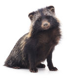 Wild raccoon. Royalty Free Stock Photography