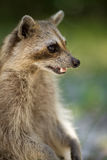 Wild racoon. In Key West Florida USA Royalty Free Stock Photos