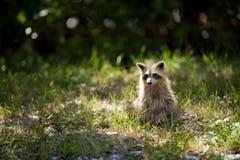 wild racoon Arkivfoto