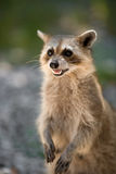 Wild racoon Royalty Free Stock Photo