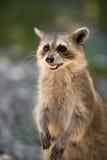 wild racoon Royaltyfri Foto