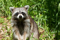 Wild racoon. Royalty Free Stock Image