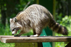 Wild racoon. Royalty Free Stock Photos