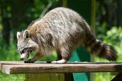 Wild racoon. royalty free stock photos