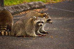 Wild Racoons Stock Photo