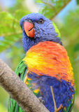 Wild rainbow lorikeet parrot. Rainbow lorikeet parrot in Queensland, Australia Royalty Free Stock Photos